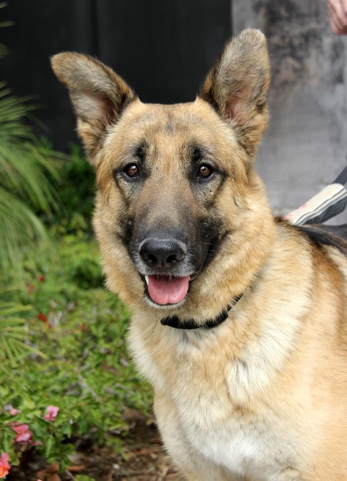 German Shepherd Dog Rescue Northern California