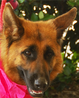 Chloe This beautiful, soulful young girl is looking for a special home. She's great with other dogs! Fostered by Shawna! Sponsored by dklablvr! Adopted 04.30.12!