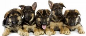German-Shepherd-Puppies-3
