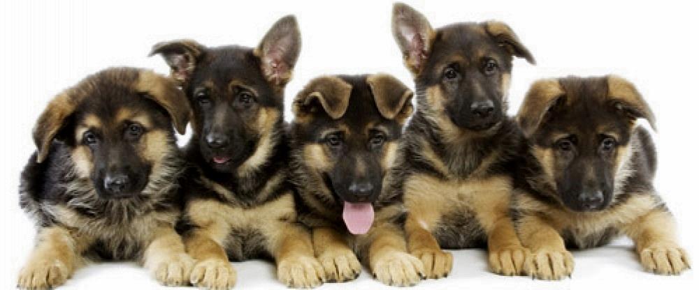 Make A Donation Southern California German Shepherd Rescue