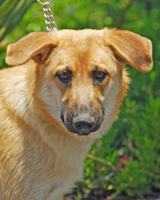 Mya This sweet, people-oriented one year old came to SCGSR as a new mommy. Cute, happy and active, she wants to be your best friend. Mya loves other dogs too! Sponsored by IndyTam! Adopted 06.08.12!