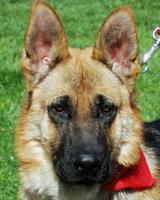 Nick Nick is a purebred 6-7 month old puppy. He is gentle and loving! Fostered by Lisa & Chris! Sponsored by MommaB58! Adopted 05.16.12!