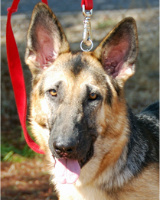 Zelda This darling girl is as sweet as can be! She's looking for a family adore her! Fostered by Alice! Sponsored by MommaB58! Sponsored by the Carman Family in loving memory of Samantha (GSD)Sept. 11, 1998~Sept. 8, 2010. Adopted 05.31.12!