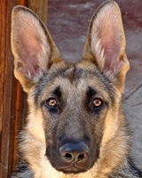 Cheyenne This sweet, sweet five month old puppy was rescued from a bad situation with her mom, Lakota. Cheyenne was terribly underweight, but has gained close to 20lbs in just a few weeks! She's a gorgeous girl! Fostered by Lisa & Chris V! Sponsored by MommaB58! Adopted 01.31.12!
