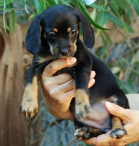 Emerald Emmy is one of six orphaned puppies raised by SCGSR. We think they are mini-doxy mixes, and they are all super adoreable! Fostered by Theresa! Adopted 05.16.12!