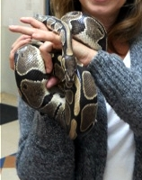 Marvin Marvin is an adult Ball Python. He is very friendly and loves a warm lap! What he loves best is to be worn as a bracelet. A big bracelet! Fostered by Marcy! Adpopted 01.26.12!
