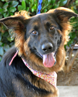 "Sierra This beautiful 2.5 year old female is a member of our beloved ""Wookie"" pack of pups! Sierra is back with SCGSR looking for a forever home. Snatch up this special dog while you can! Adopted 06.25.12!"