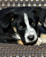 "Zeus Zeus is a sweet boy, one of Dixie's pups. His foster mom says this is the one she would keep--a ""chill"" puppy! He'll be ready to go home in December. Adopted 12.9.12"