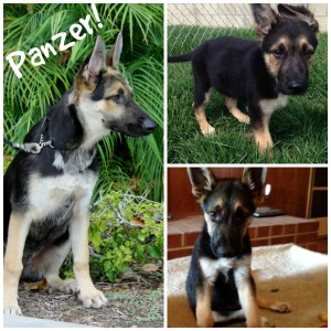 Panzer - a puppy who barely made it - but he did!
