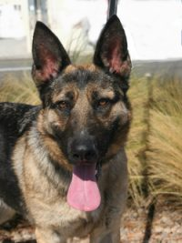 Southern California German Shepherd Rescue Adopt A Friend For Life